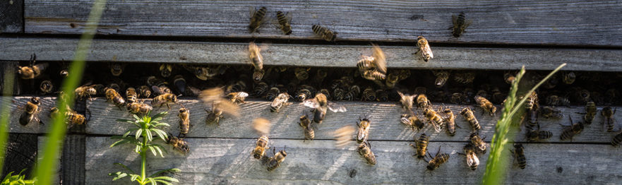 Bees flying in and out of a bee hive